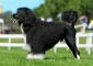 Portuguese Water Dog, puppies for sale